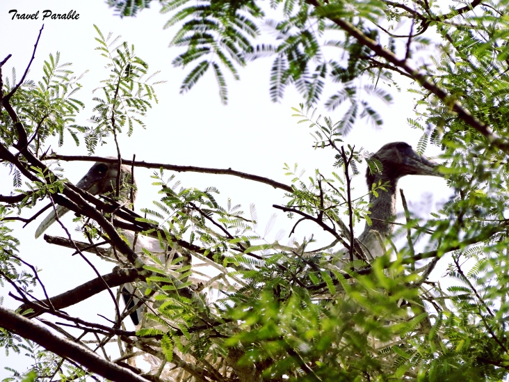 Juveniles of Painted Stork