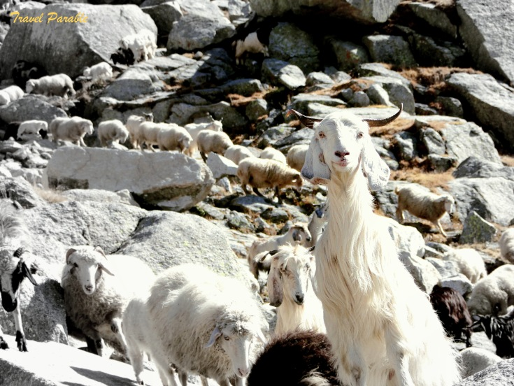 Goats and Sheep b