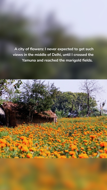 A city of flowers: I never expected to get such views in the middle of Delhi, until I crossed the Yamuna and reached the marigold fields.